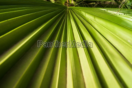 palm leaf close up as background