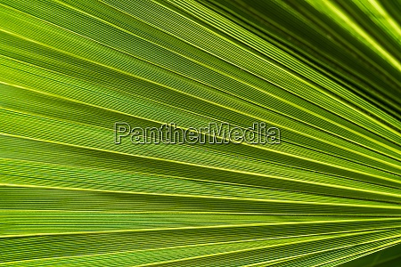 palm leaf in backlight close up