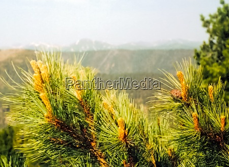 young pine branches pine tree in