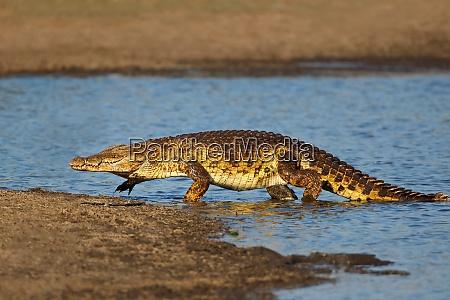 nile crocodile emerging from water