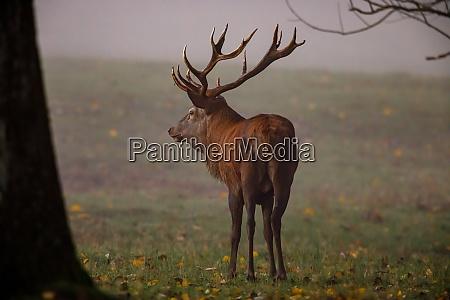 deer at rutting season in the