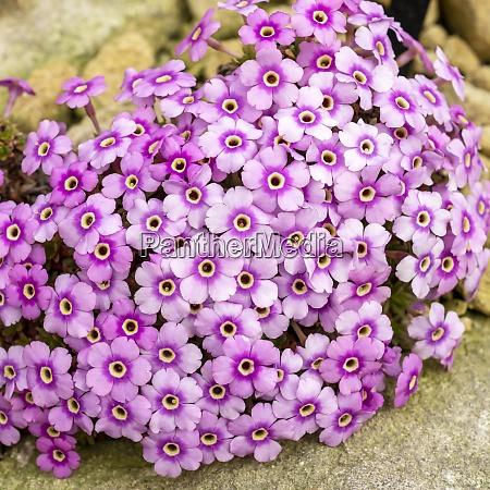 dense light pink flowers of dionysia