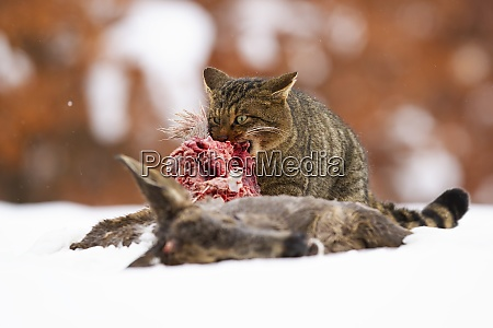 hungry european wildcat feeding on dead