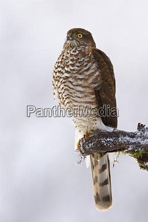 dominant eurasian sparrowhawk sitting on bough