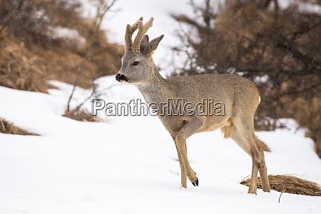roe deer walking on meadow the