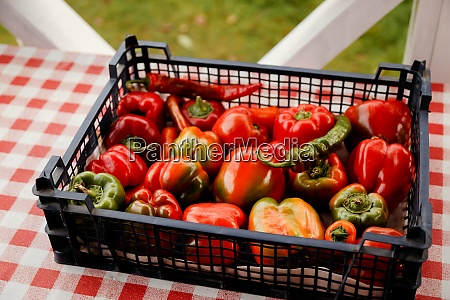 colorful sweet bell peppers farm harvest