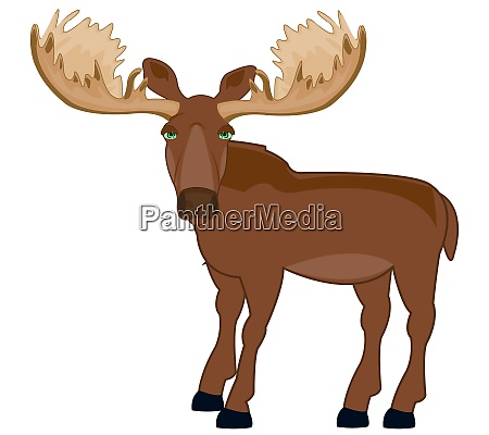 wildlife moose on white background is