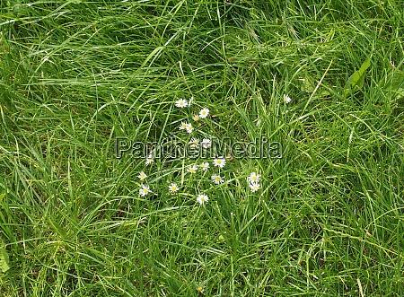 daisy plant bellis perennis white flower