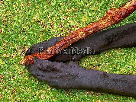 a black labrador retriever holding a