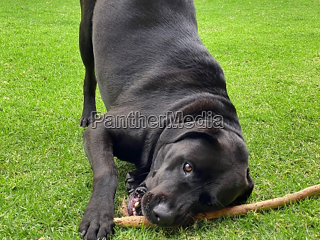 a playful black labrador playing with