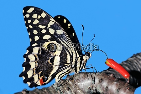 colorful citrus swallowtail butterfly