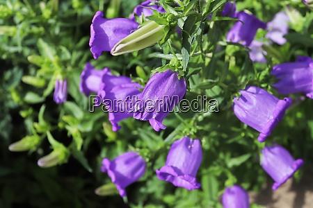 a cluster of purple campanula perennial