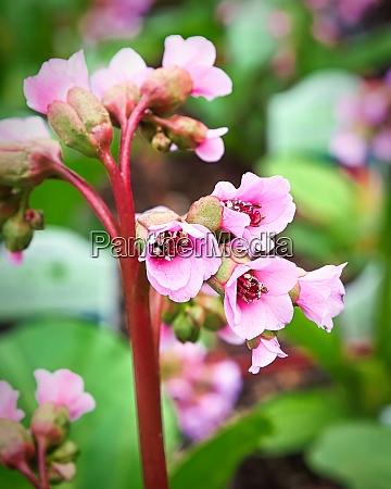 vertical macro view of pink bergenia