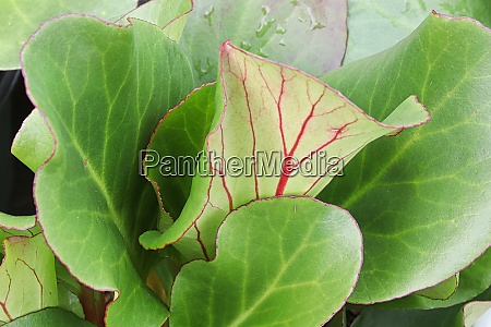 green and red edges leaves of