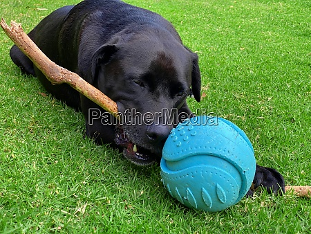 labrador laying down and chewing a