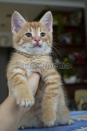 portrait of cute little red kitten