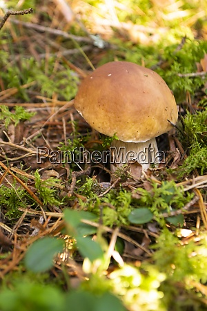 edible bolete mushrooms in autumn wild