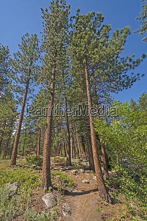 alpine trail amongst the pines