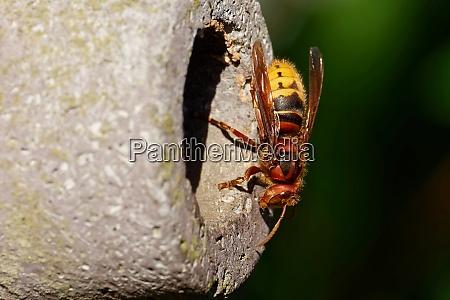 european hornet at a nesting box