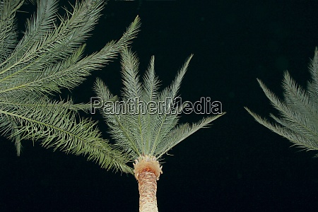 view to top of date palms