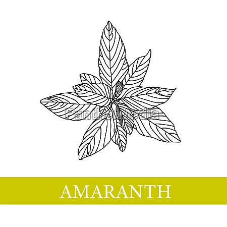 amaranth plant botanical illustration amaranth medical