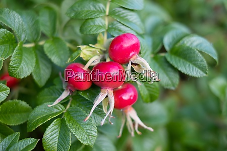 rose hips from rosa rugosa beach