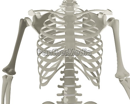 3d rendered male chest basket