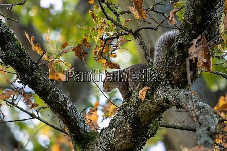 grey squirrel sciurus carolinensis resting in