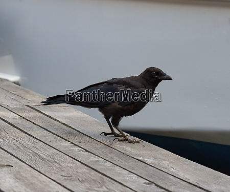 one raven on a wooden jetty