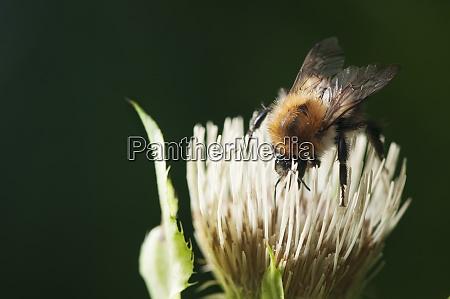 bombus hypnorum baumhummel on blossom