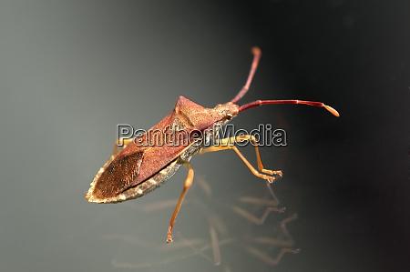 gonocerus acuteangulatus braune randwanze