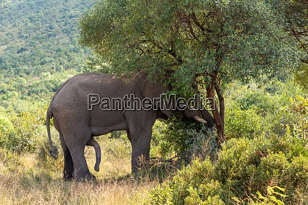 wild african elephant ready for mating