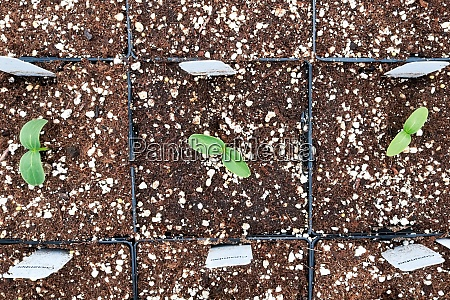 a row of cucumber seedings with