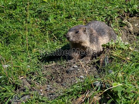 groundhog on a mountain pasture