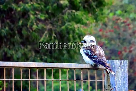 single blue winged kookaburra resting on