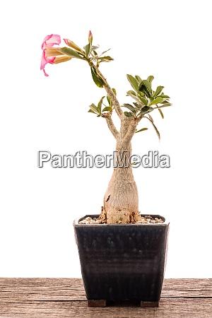 pink flower of a desert rose