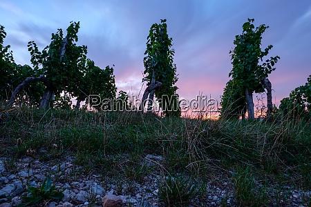vines in vineyard and dawn sky