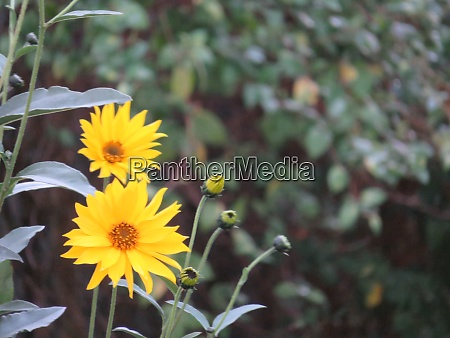beautiful natural yellow flowers to decorate