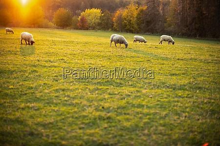 sheep grazing on lush green pastures