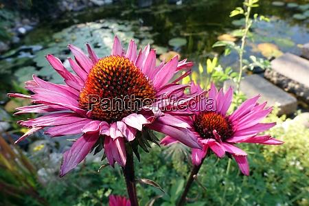 echinacea purpurea hybrid inflorescence