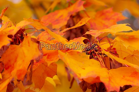 colorful leaves of autumn soft
