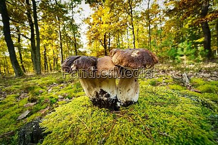 porcini mushroom autumn forest