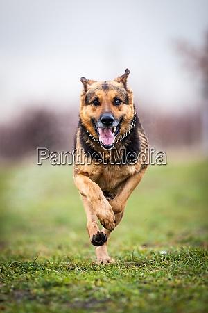 fast running german shepherd dog