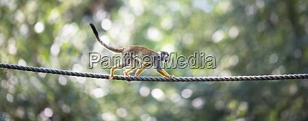 common squirrel monkey saimiri sciureus shallow