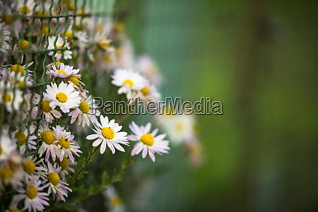 lovely daisyflowers with lush green