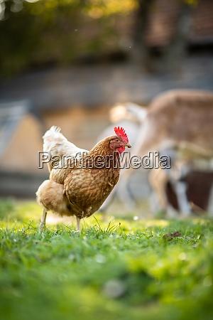 hen in a farmyard gallus gallus