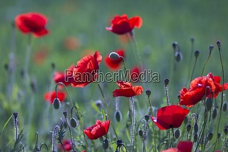 wild poppy flowers soft focus