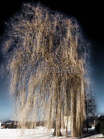 babylon willow in wintertime in germany