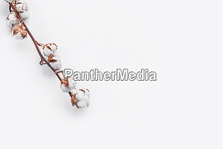 one branch of cotton deadwood on
