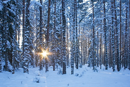 winter forest in evening
